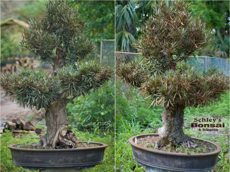 large podocarpus bonsai